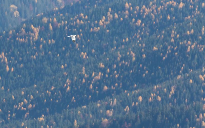 carpathian mountains, bunea lodge, hen harrier