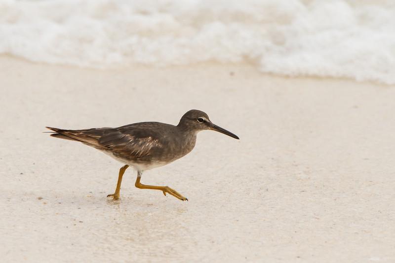 Wandering Tattler at Gardner Bay, Espanola, Galapagos, Ecuador (11-21-2011) - 693.jpg