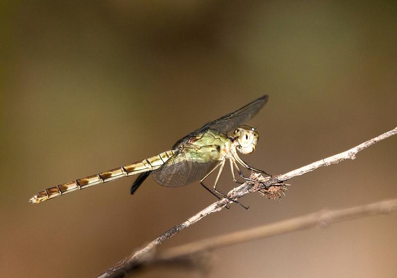 band winged dragonlet female