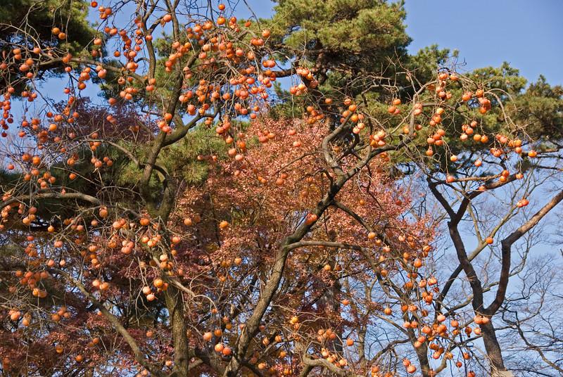 Korean Tangerine tree hanging from branch at Gyeongju, South Korea