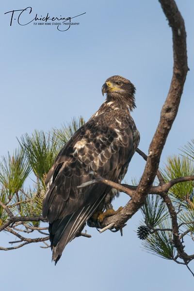 Immature Bald Eagle Two.jpg