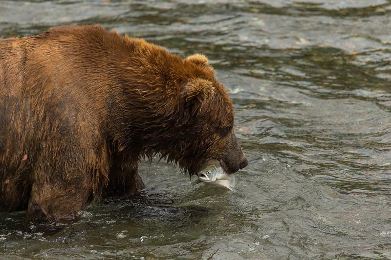 Katmai Bears-266.jpg