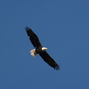 27 Day 3 Thu: Bald Eagle Flying