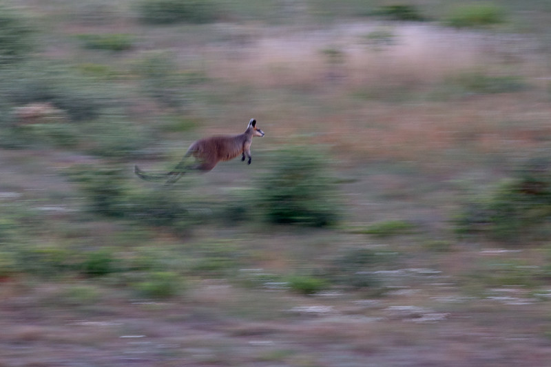 Swamp wallaby, Bokarina, Australia
