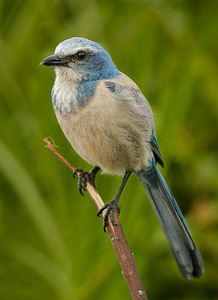 I always enjoy taking pictures of scrub jays and they are so cooperative.