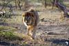 Prime Male Lion