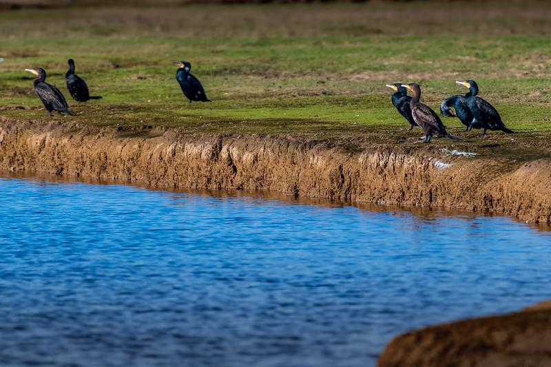 Cormorants (Scientific name: Phalacrocorax carbo) at Cuckmere
