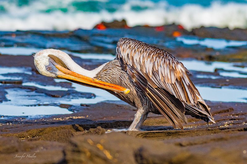 pelican cleaning feathers.jpg