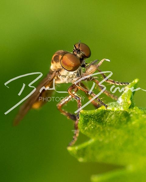 robberfly-1.jpg