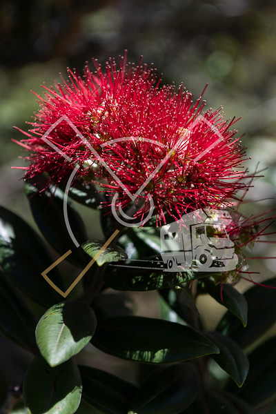 Detail of the red flower of the Pohutukawa tree endemic to New Zealand.
