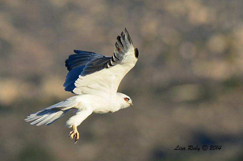 White-Tailed Kite - 3/9/2014 - From Lake Hodges Pedestrian Bridge