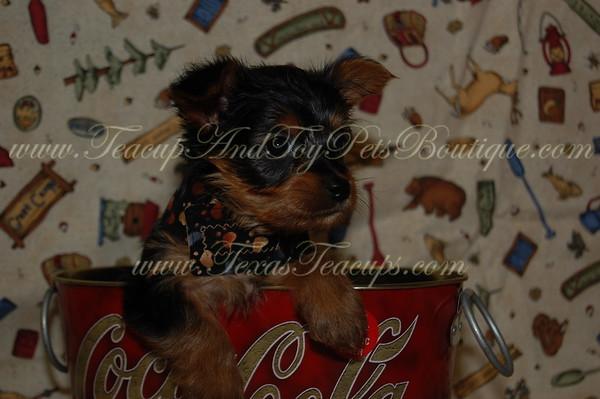 Auction Winner Amy S Of Heath!Yorkie Puppy # 2572*