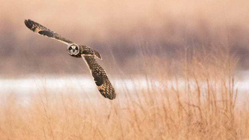 IX2456 Short Eared Owl 16_9.jpg