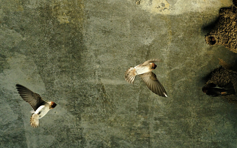 Cliff swallows and their mud nests. 
