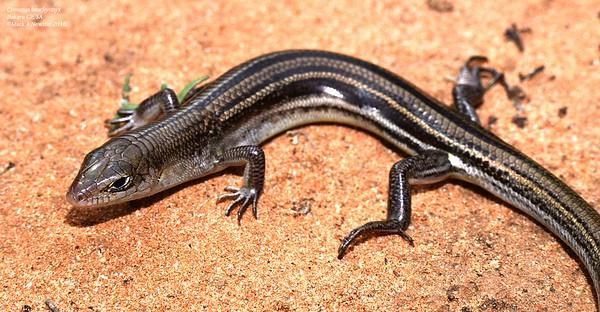 Ctenotus brachyonyx  (Short-clawed Ctenotus)