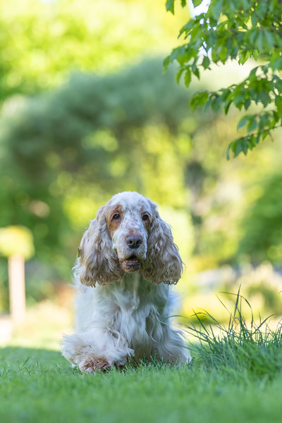 Cocker Spaniel Dog Breed Is In The Grass