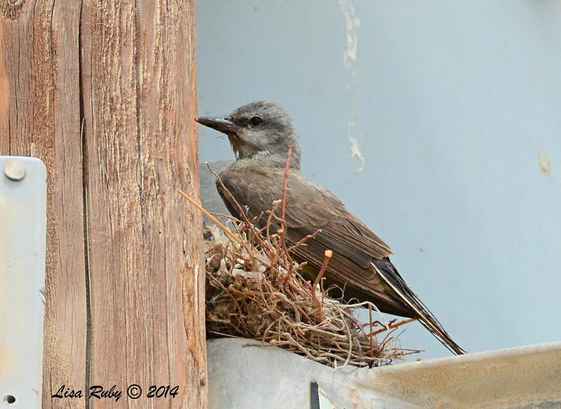 Bedraggled Western Kingbird -   7/27/2014 - Salton Sea
