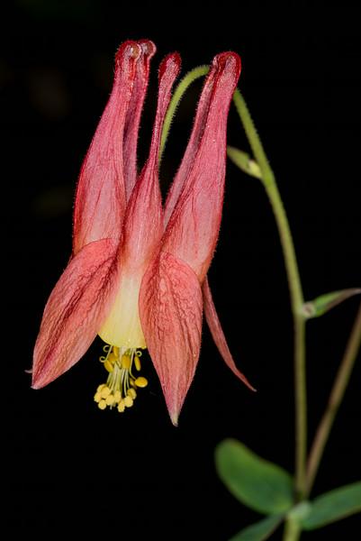 Aquilegia canadensis - Red columbine