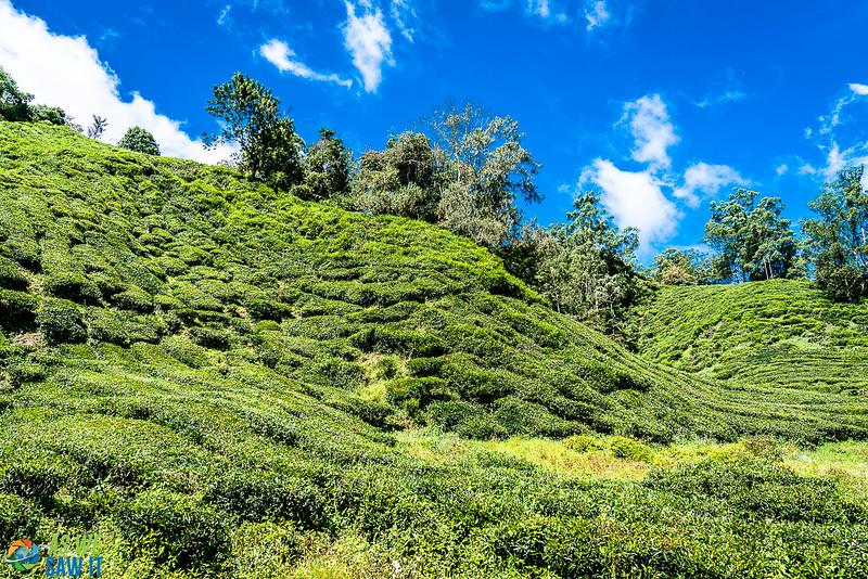 BOH-Tea-Plantation-08538.jpg