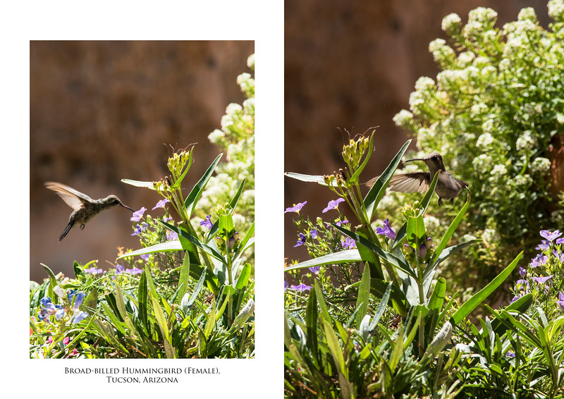 Broadbilled Hummingbird 2 image.jpg