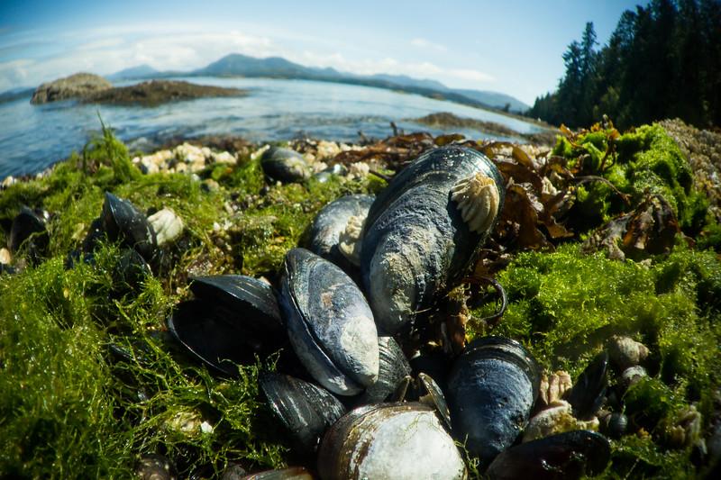 California mussel (Mytilus californianus), Vancouver Island, British Columbia