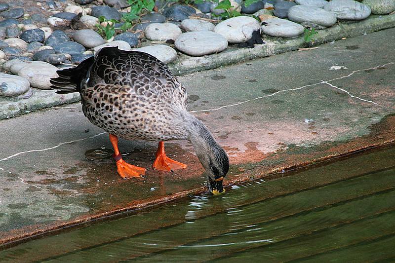 Kowloon Park, Duck