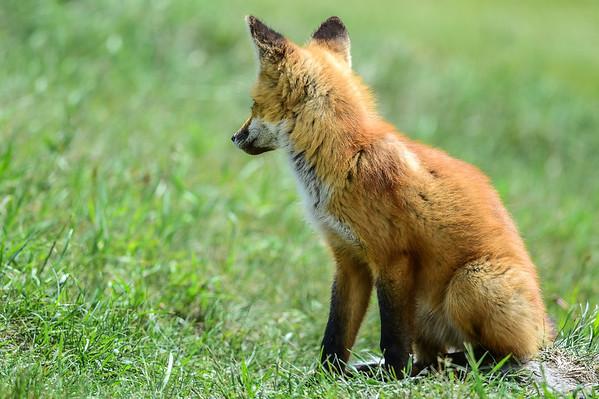 6-15-15 Red Fox Pup II