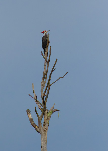 Pileated Woodpecker Up High