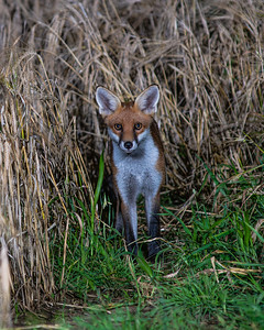 Lincolnshire Foxes