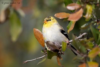 Finches (Includes Grosbeaks, Redpolls, Siskins)