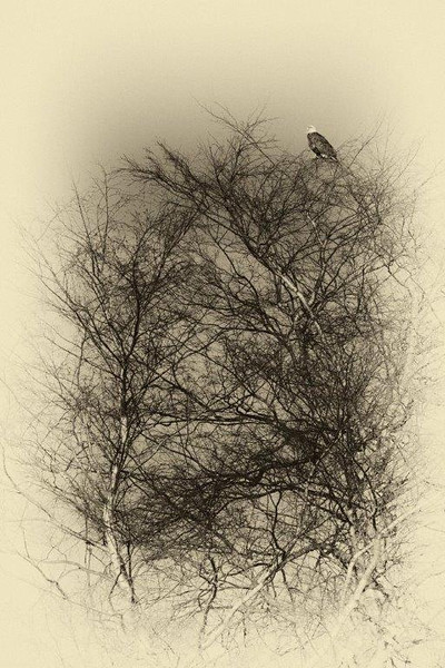 A bald eagle sits in a birch tree.
