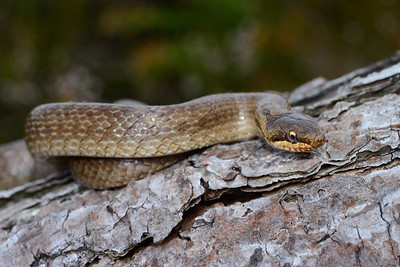 smooth snakes