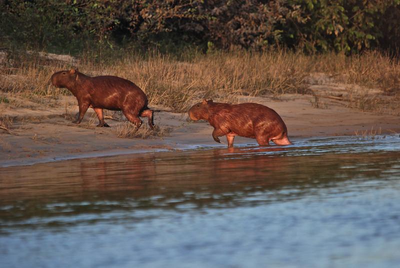 Capybara, A.K. Guyana 2011