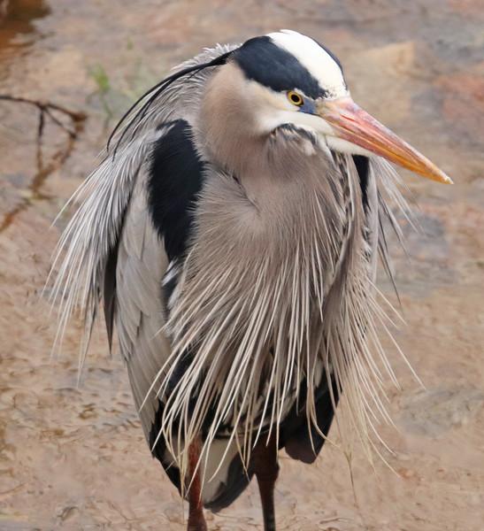 great blue heron blowing in the wind.jpg