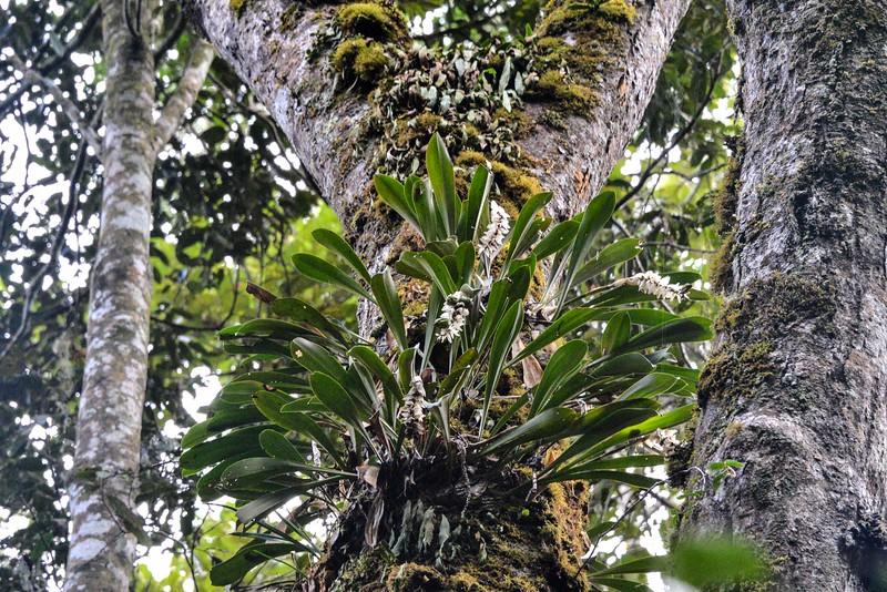 Bulbophyllum occlusum MDG_5532.jpg