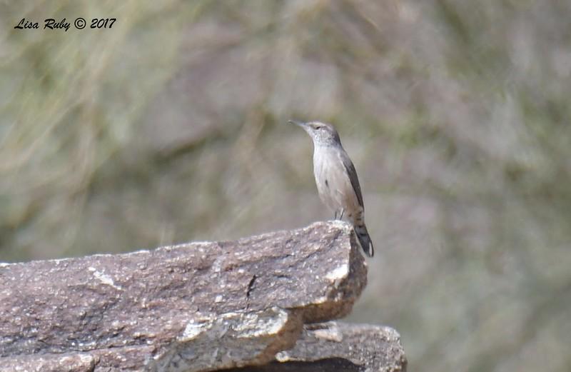Rock Wren - 9/17/2017 - Anza Borrego Desert State Park Visitor's Center