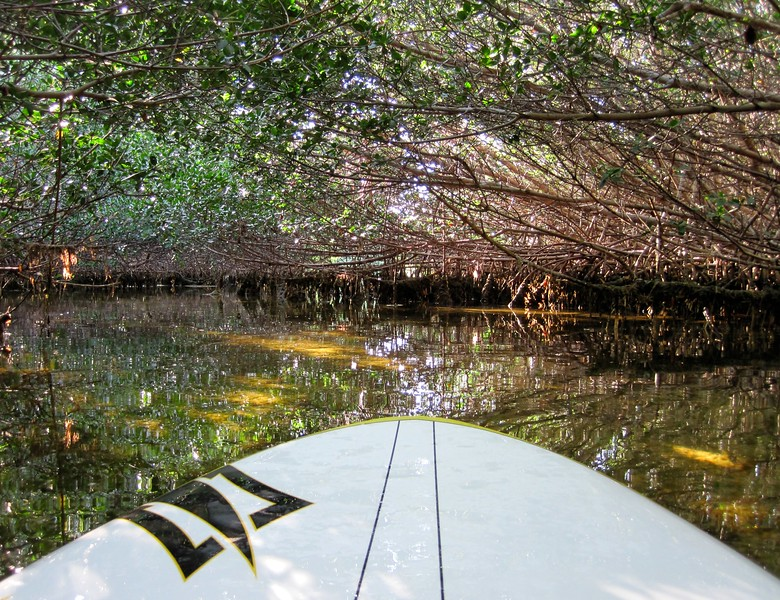 paddle boarding the mangrove creek