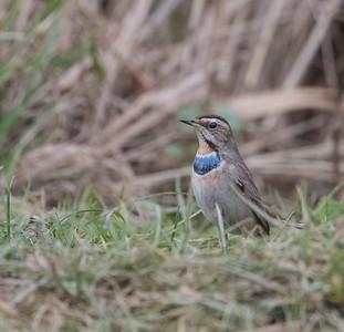Bluethroat at Willow Tree Fen