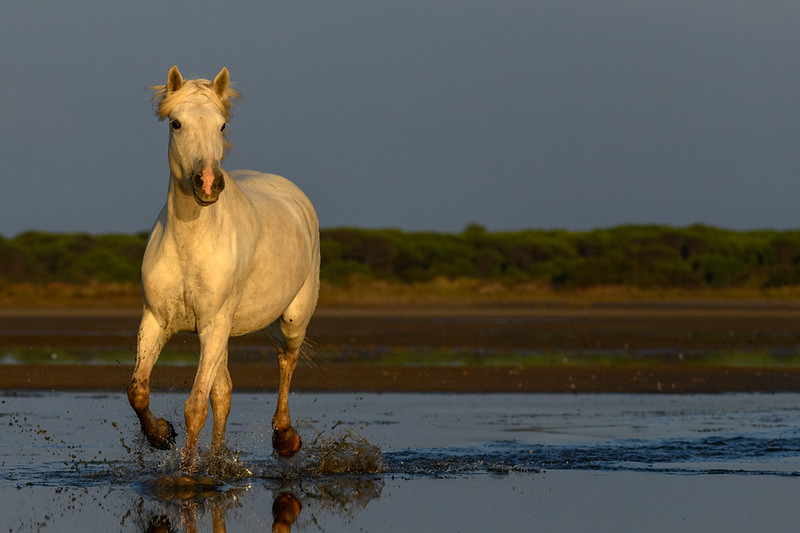 Camargue White Horse first light in a marsh.