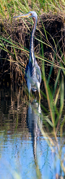 Tricolor Heron in the water, looking about