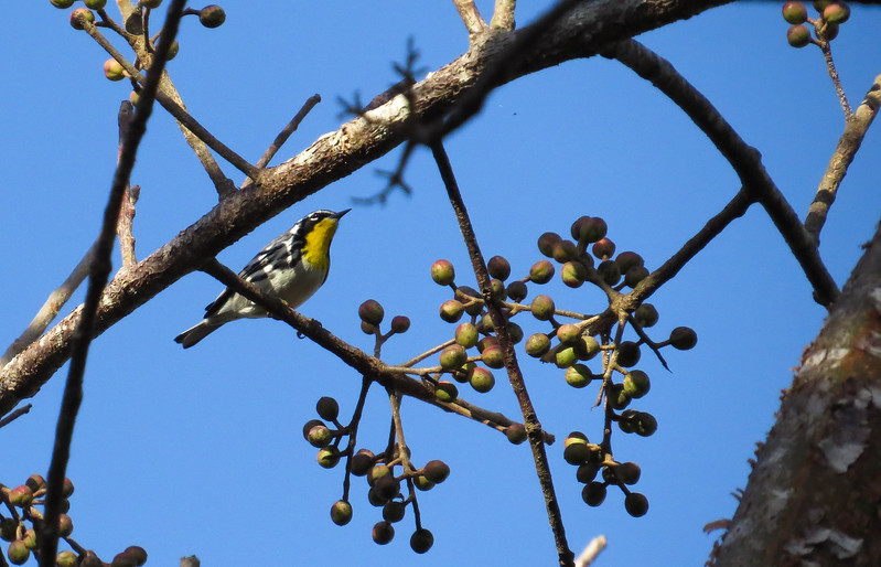 LIFE sighting: Yellow-throated Warbler. Breeding territory is middle-atlantic states. Not likely to see this bird in MN.