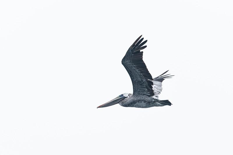 Pelicans-10.jpg