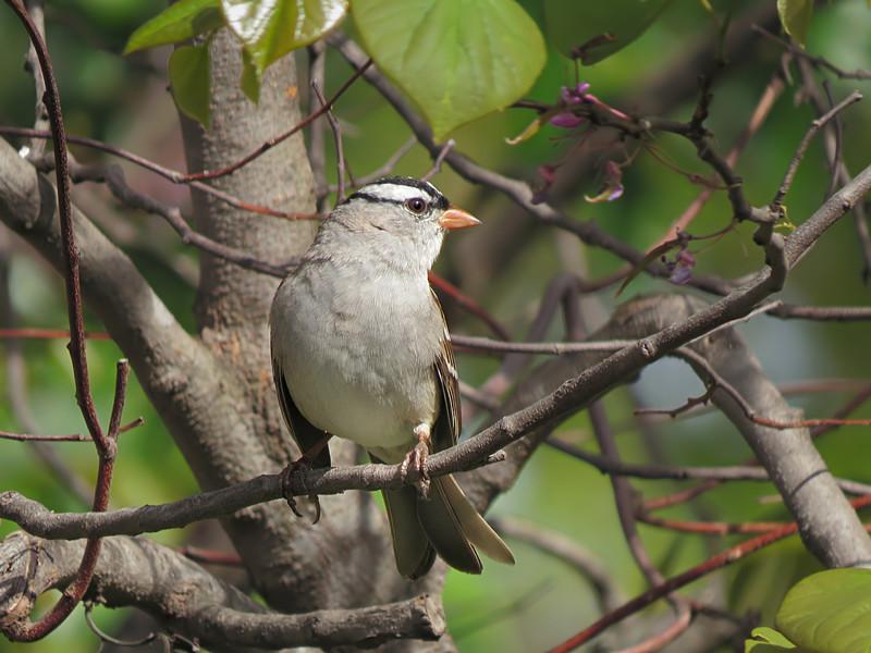 sx50_white_crowned_sparrow_bit_226.jpg
