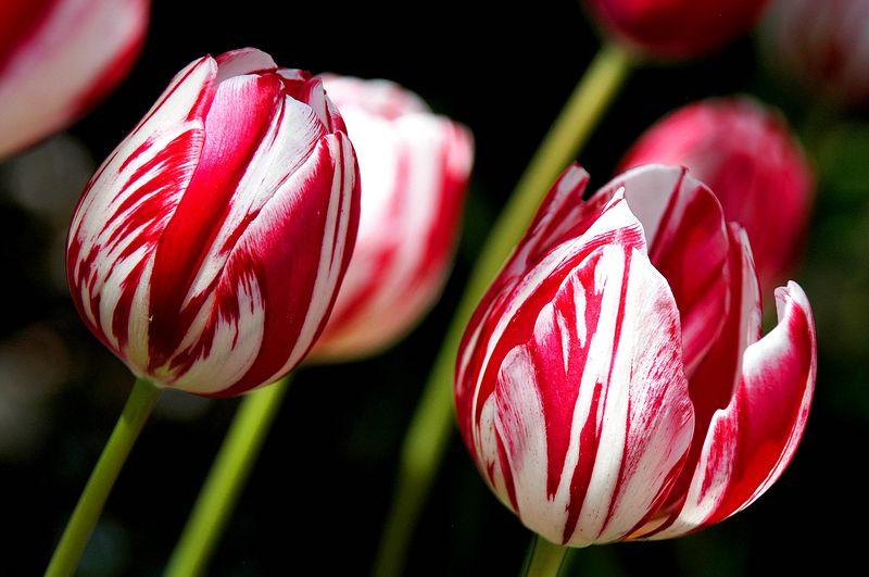 2168 Red & white tulips.jpg