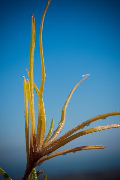 Aloe ballii