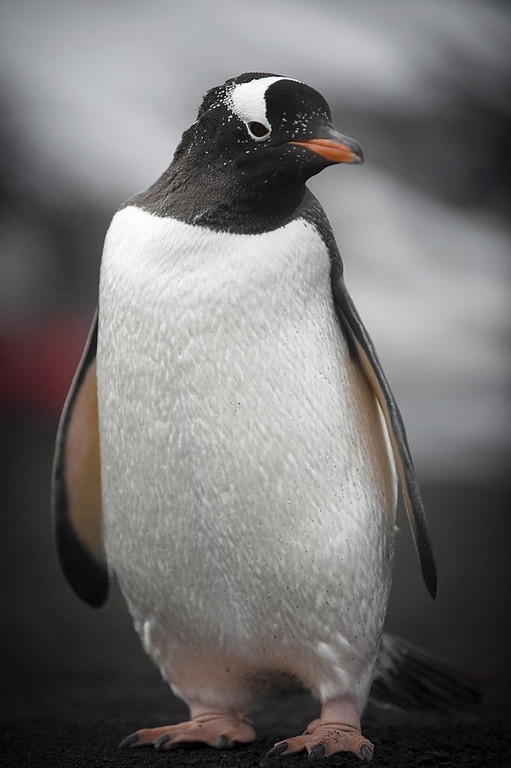 . <p>14. PENGUINS <p>Sick and tired of having their every move narrated by Morgan Freeman.   (Martin Bureau/AFP/Getty Images)