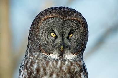Great Gray Owl Ontario