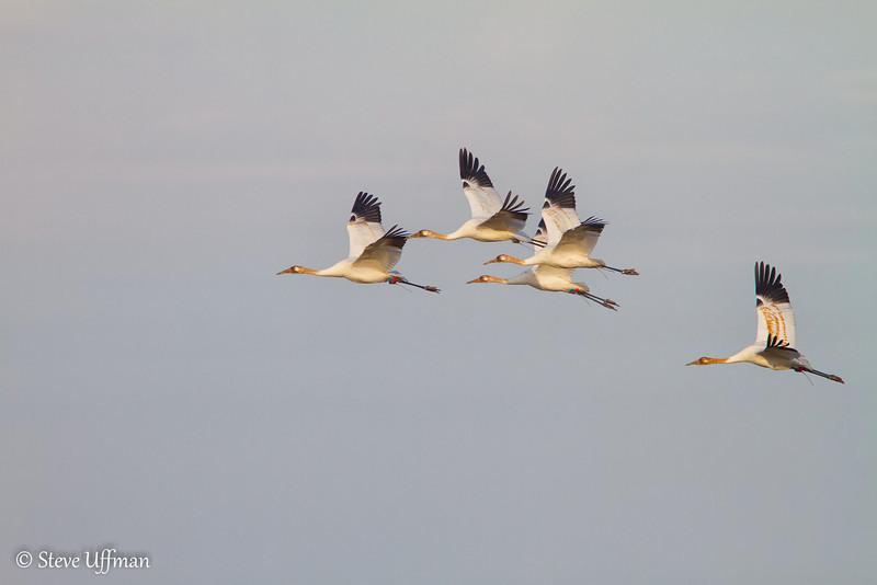 20120207-_MG_2721Whooping_Cranes_White_Lake-Edit.jpg