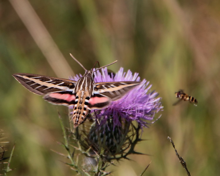 White-lined Sphinx Moth (7894: Hyles lineata)