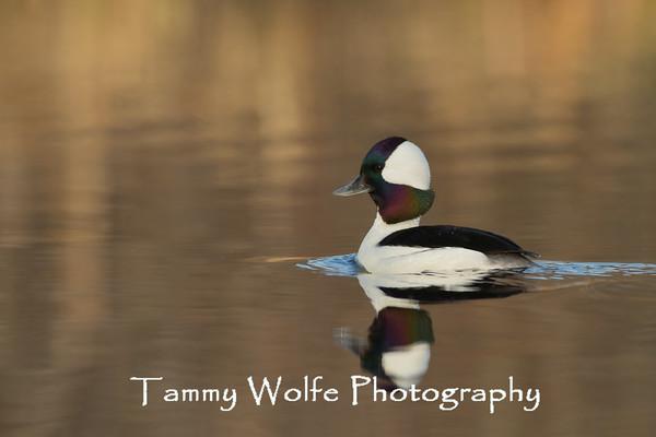 Duck, Bufflehead